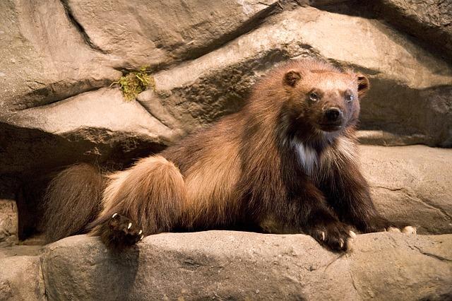 grizzly medvěd